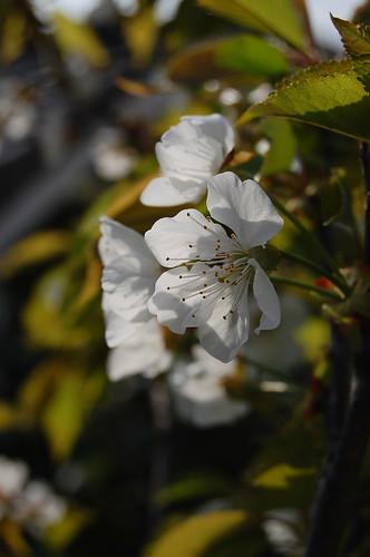 fleur du cerisier