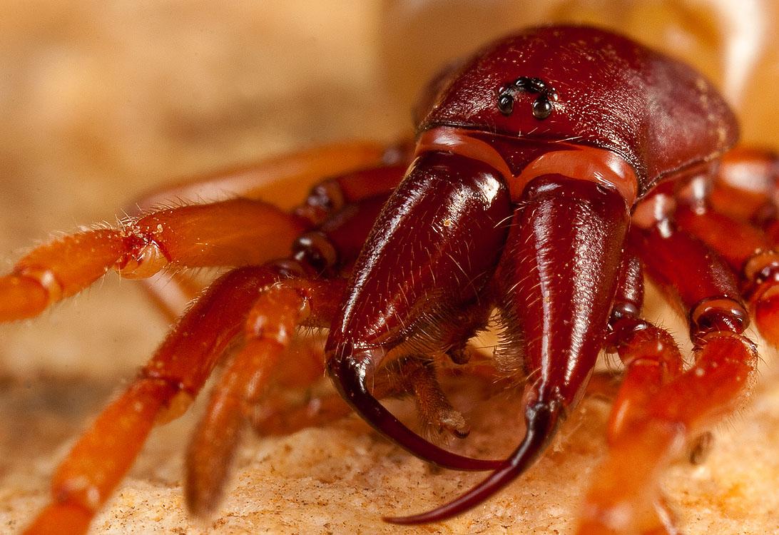 Трубковый павук Dysdera crocata - все про тварин