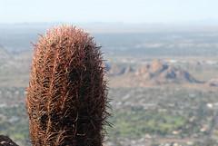Compass Barrel Cactus (Ferocactus  cylindraceus)