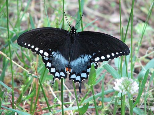 Spicebush Swallowtail Butterfly De Hart Botanical Gardens, Louisburg NC 6213