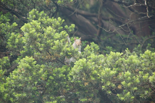 Arnold Arboretum, 18 May 2010: A squirrel in one of the low pine trees near Hemlock Hill Road