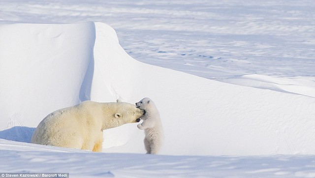 Polar bear and her cub 03 (by Steven Kazlowski)