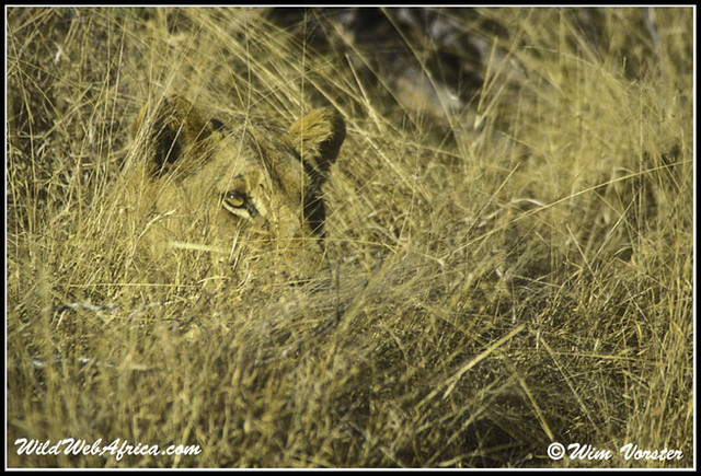 lions camouflage flickr photo sharing