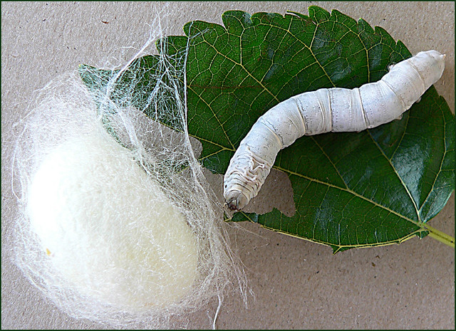 Silkworm and cocoon