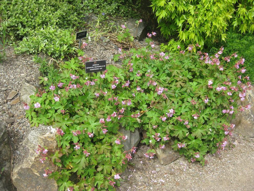 Geranium macrorhizzum 'Ingwersen's Variety' 14-05-2010 14-06-36
