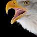Bald Eagle - Weisskopfseeadler by beachwalker2008