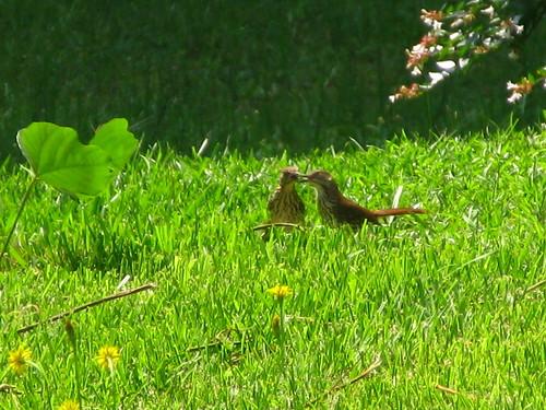 birds favorited backyardbirds g9 gastatebird brownthrashers carnesvillega spring2010 june5th2010 aphotoadayin2010156
