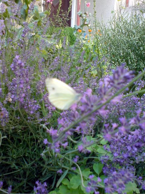 Лавандула и пеперуди @ home