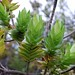 Dubautia platyphylla