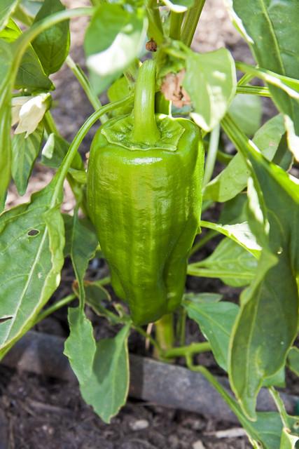 Big Bertha Bell Pepper | Flickr - Photo Sharing!