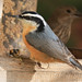 Birds: Chickadees, Nuthatches