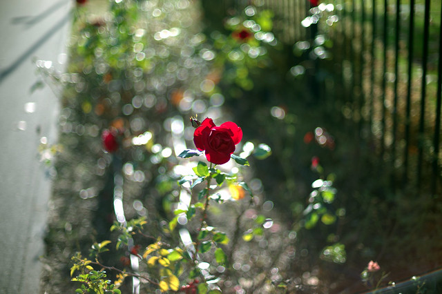 BLOWN AWAY - portrait of a Rose by Leica M9 + Voigtlander 50 1.1