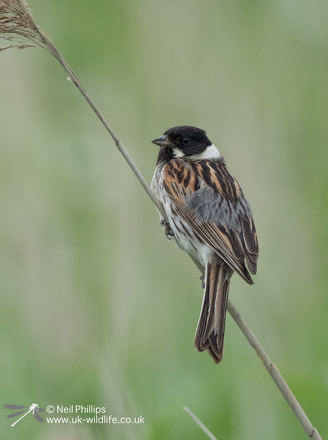Reed bunting-4