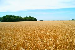 Blond comme les blés / Blond as wheat