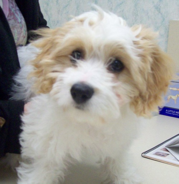 cavalier-bichon puppy | Flickr - Photo Sharing!