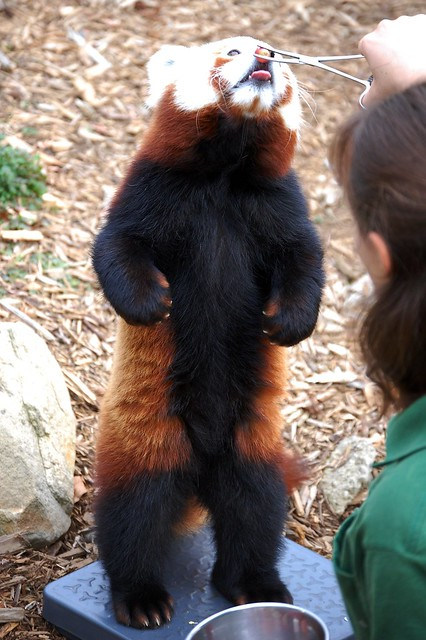 Zheng the Red-Nose Red Panda