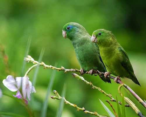 Mr. and Mrs. Spectacled Parrotlet