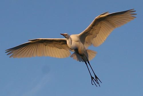 morning columbus arizona sunlight tucson great egret greategret sweetwater