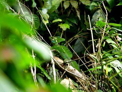 Green Basilisk in Tortuguero National Park