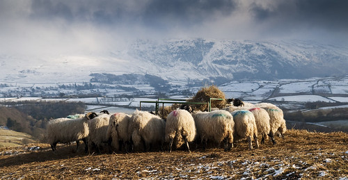Sun, snow, sheep