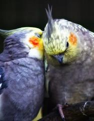 animal, pet, fauna, close-up, cockatiel, beak, bird,
