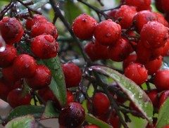 pink peppercorn, berry, fruit, schisandra, hawthorn, lingonberry,