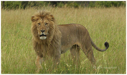 male lion in mara