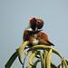 Small photo of Allen's Hummingbird