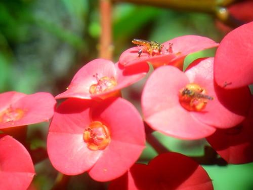 14- Cacho de flores Coroa-de-Cristo.  11-10-09