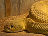 "<a href=""http://www.flickr.com/photos/matthiaswicke/4545963975/"">Photo of Crotalus basiliscus by Matthias Wicke</a>"