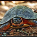 Wood Turtle 1 by CanadianInvader