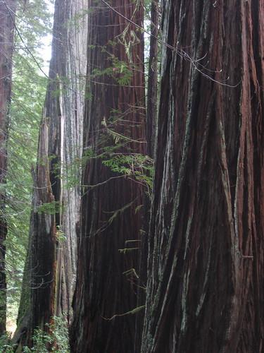 Redwood Series