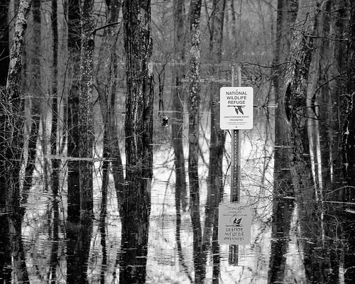 new trees england blackandwhite reflection water sign ma bedford flooding massachusetts newengland goose 2010 nationalwildliferefuge concordriver conservationland march2010flood