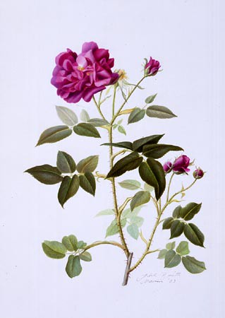 "Adele Rossetti Morosini, Rosa 'Sissinghurst' Mixed Media, 14"" × 11"". © Copyright Brooklyn Botanic Garden"