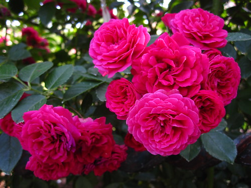 Rosa 'Chevy Chase'