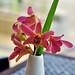 bintan lagoon - orchid