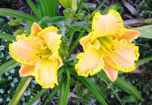 Daylily, Regency Fortune, Las Vegas Gardening
