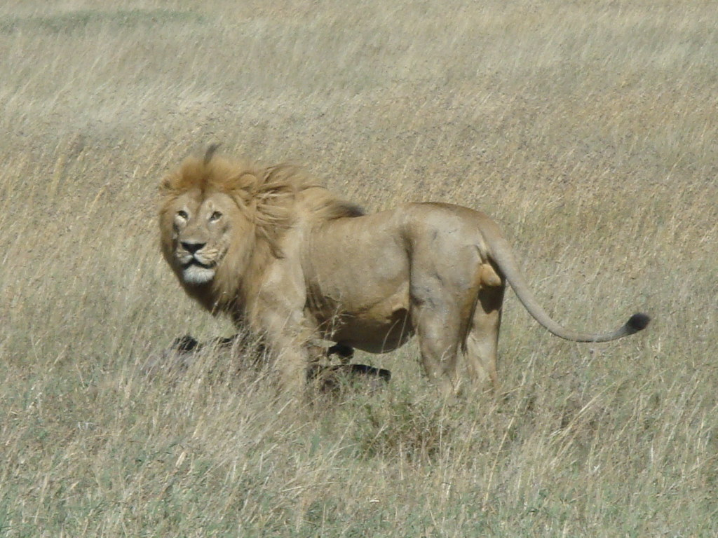 Do lions have a larger lattissumus Dorsi muscle then ...