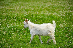 animal, prairie, farm, flower, field, grass, sheep, nature, mammal, goats, domestic goat, fauna, mountain goat, natural environment, meadow, lawn, pasture, grassland, wildlife,