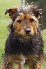 dog breed, animal, berger picard, dog, pet, australian silky terrier, norfolk terrier, glen of imaal terrier, vulnerable native breeds, norwich terrier, welsh terrier, irish terrier, australian terrier, carnivoran, yorkshire terrier, terrier, airedale terrier,
