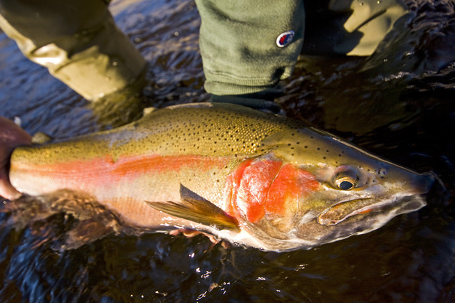Salmon river rainbow flickr photo sharing for Salmon river ny fishing map