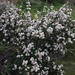 Small photo of Ceanothus megacarpus