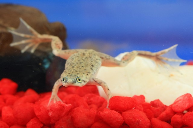 Frog O Sphere Brookstone African Dwarf Frog | F...