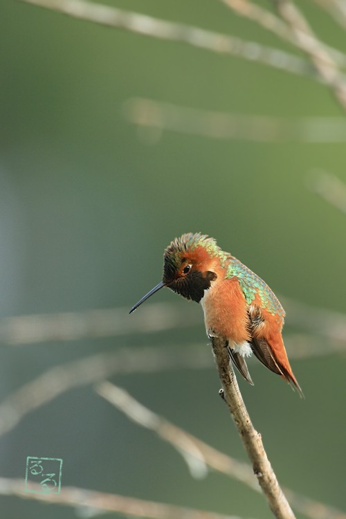 Allen's Hummingbird 02101-113-2