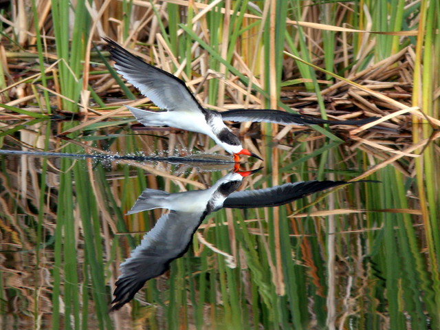Black Skimmer (Rynchops niger) 2-20100215