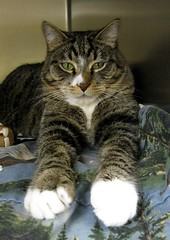 Meet Fig, a Nice Boy Tabby Cat with White Mittens
