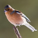 Chaffinch on one foot