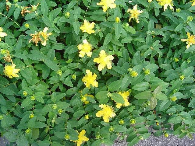 Ornamental St. John's wort in Zurich