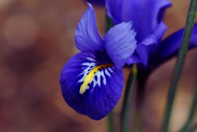 Spring Iris flower, Reticulata, Iris harmony