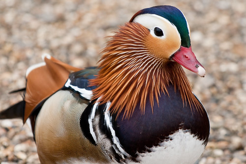 Mandarin Duck up Close